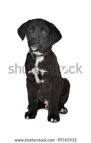 Mixed Breed Puppy Great Dane Rottweiler Stock Photo Edit Now