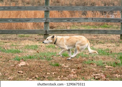 Mixed Breed Ranch Dog running along the pasture fence Oklahoma