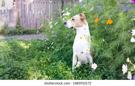 Mixed Breed Short Haired Dog Sitting in Cosmos Flowers