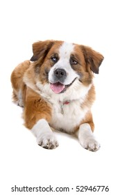 mixed breed ,St. Bernard dog  in front of a white background
