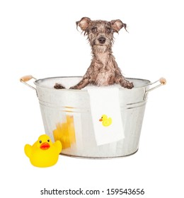 A mixed breed terrier dog with wet fur sitting in a steel bath tub with bubbles and a rubber duck