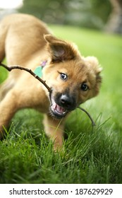 A mixed breed, very cute puppy lying on green grass chewing his/her favorite stick...