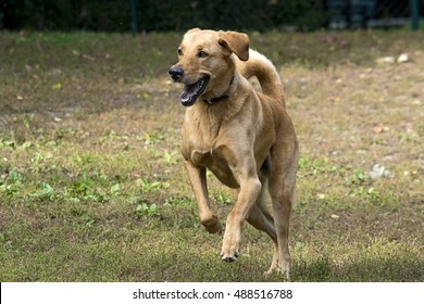 a mixed breed yellow labrador is running free in a field, looking very happy