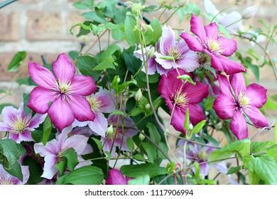 mixed clematis garden