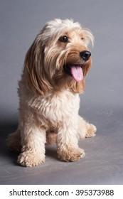 Mixed Cocker Spaniel dog portrait  in studio