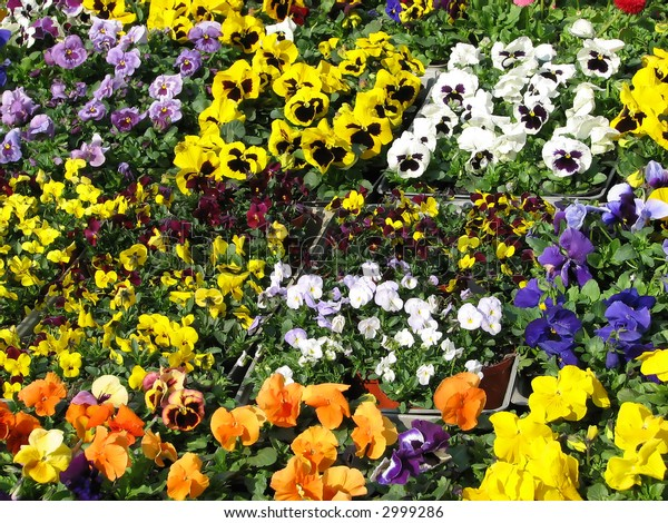Mixed color pansies in flower-boxes