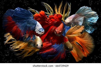 Mixed colorful fancy betta saimese fighting fish motion and colour in black background.