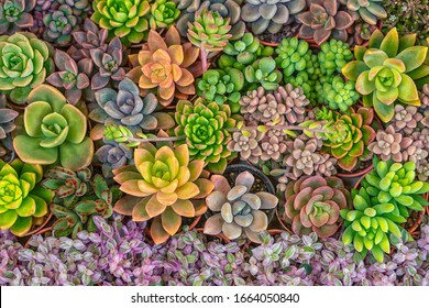 Mixed colorful of succulent plants in garden. Nature background.