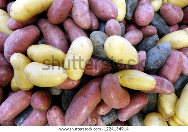 Mixed colour (yellow, purple and dark purple) of fingerling potatoes, small, stubby, finger-shaped type of potato which may be any heritage potato cultivars.