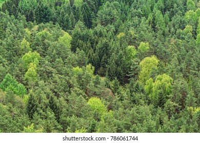 mixed forest background of fir, birch and pine trees