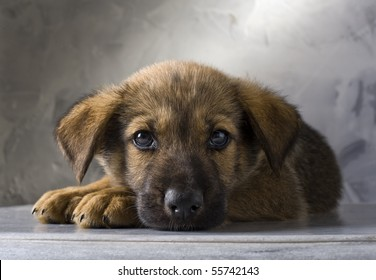 mixed German Shepherd puppy on gray background