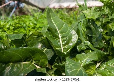 Mixed Green organic vegetables, leaf