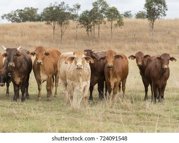 A mixed herd of Australian Cattle roaming free in Queensland Australia.