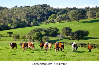 A mixed herd of cattle in the Caves Road area of the town of Margaret River in Western Australia.