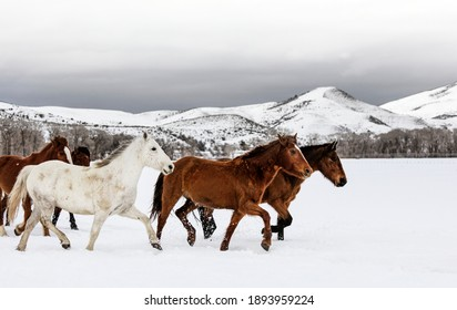 A mixed herd of wild and domesticated horses frolics on the Ladder Livestock ranch, at the Wyoming-Colorado border. Original image from Carol M.