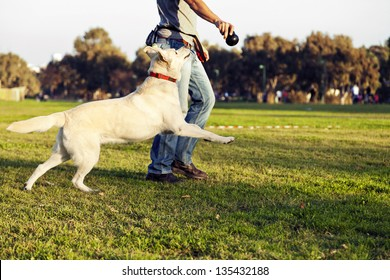 A mixed Labrador female dog looking up and running after the chew toy her trainer is holding.