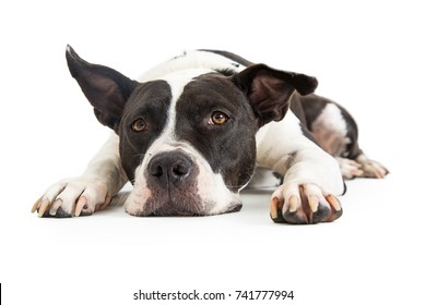 Mixed large breed black and white dog lying down and resting head on ground with tired expression