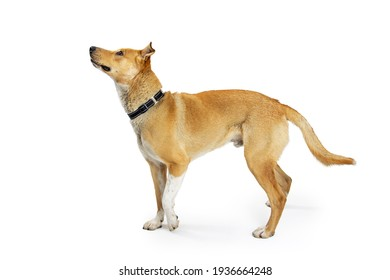 Mixed large shepherd breed dog standing facing side lifting paw with excited attentive expression looking up over white background.