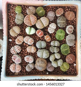 Mixed Lithops grown in pot