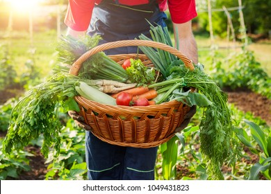 Mixed organic vegetable in wicker basket.Farmer holding basket with vegetables.