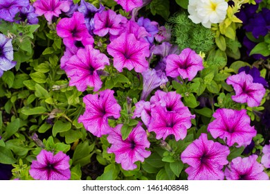 Mixed petunia flowers. Colorful blooming Petunia flowers (Petunia hybrida)