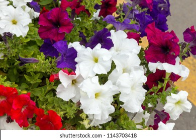 Mixed petunia flowers. Petunias in Floral Detail Background Image. Beautiful petunia flowers wallpaper