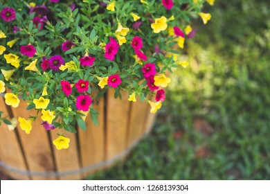Mixed petunia flowers. Petunias in Floral Detail Background Image. Beautiful petunia flower wallpaper. Multicolored petunias grow in a Wooden pot.