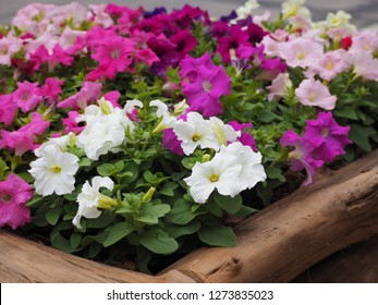 Mixed petunia flowers. Petunias in Floral Detail Background Image. Beautiful petunia flower wallpaper. Multicolored petunias grow in block timbe