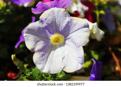 Mixed petunia flowers. Petunias in Floral Detail Background Image. Beautiful petunia flower wallpaper. Colorful blooming Petunia flowers (Petunia hybrida).