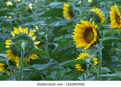 Mixed up phototrophic sunflowers strangely facing all different directions
