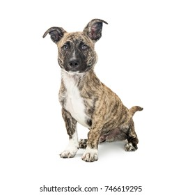 Mixed small breed dog with brown and black brindle coat, short legs  and perky ears