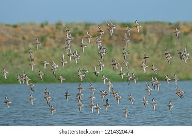 Mixed species wader flock at the Wadden Sea in the Netherlands.