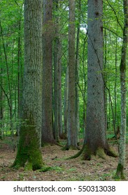 Mixed stand with oak,spruce and hornbeam trees in summer, Bialowieza Forest, Poland, Europe