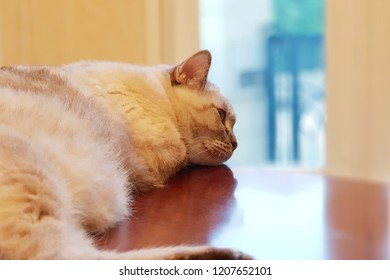 Mixed Thai and Persia Cat is sleeping on the table, she looks so bored. Selective focus.