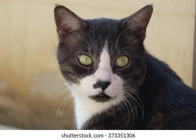 mixed thai-persian cat portrait