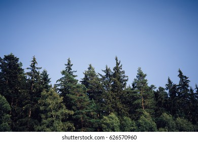Mixed tree species of forest vegetation (coniferous/deciduous) in soft afternoon light in green colors in a bright blue sky,on coniferous trees are cones. The picture is suitable as background image.