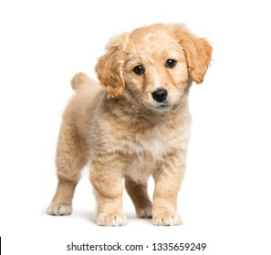 Mixed-breed between Jack Russell terrier and Golden retriever, 2 months old, in front of white background
