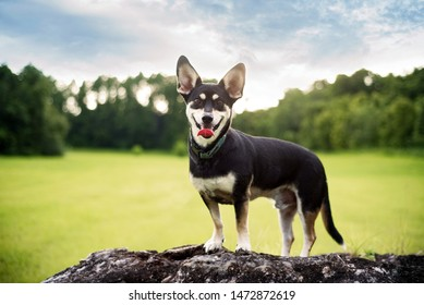 Mixed-breed between Siberian Husky in a beautiful field during sunset