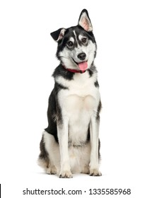 Mixed-breed between Siberian Husky and Labrador Retriever sitting in front of white background