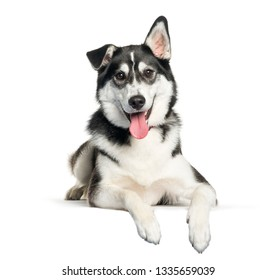 Mixed-breed between Siberian Husky and Labrador Retriever lying in front of white background