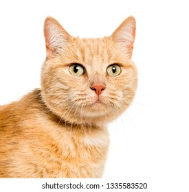 Mixed-breed cat in front of white background