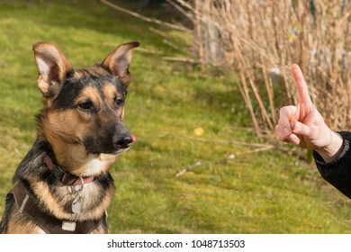 Mixed-breed dog between German shepherd and Labrador Retriever at learning in the garden