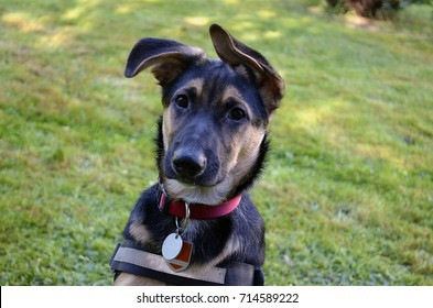 Royalty Free German Shepherd Mix Stock Images Photos Vectors