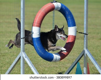 Mixed-Breed Dog Jumping Through a Tire at Dog Agility Trial