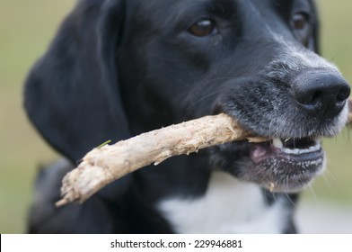 Mixed-breed dog Lisa plays with a stick.