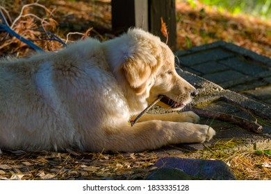 A mixed-breed puppy chews on a stick at sunset