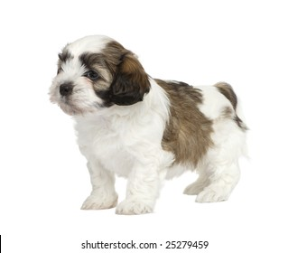 Mixed-Breed puppy in front of a white background
