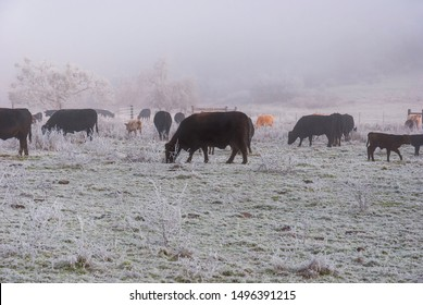 a mixture of black angus and red cows grazing on a pasture that is covered by fog frost with an extremely hazy hillside in the background