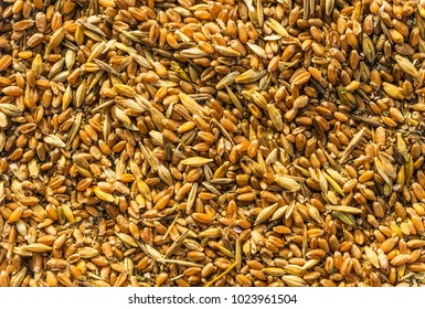 Mixture of different grains, golden wheat grains, background of mixed barley and oat seeds, mixture of cereals for animal feed, yellow corn texture