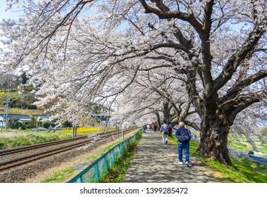 Miyagi, Japan - Apr 14, 2019. People walking on the cherry blossom road near Shiroishi River at sunny day in Miyagi, Japan.